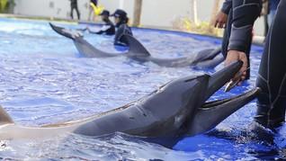 Lumba-lumba Hawaii Terinfeksi Virus Baru, Khawatir Jadi Wabah