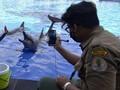 FOTO: Merawat Lumba-lumba di Tengah Pandemi Corona