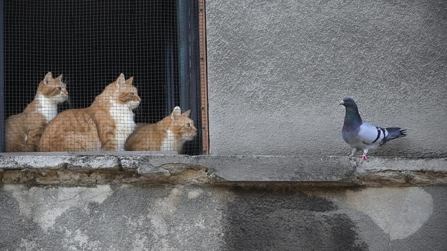 Cats stare at a pigeon from inside a window in Bucharest, Romania, Thursday, April 23, 2020. (AP Photo/Vadim Ghirda)