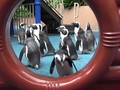 VIDEO: Kebun Binatang Ditutup, Waktunya Penguin Jalan-jalan