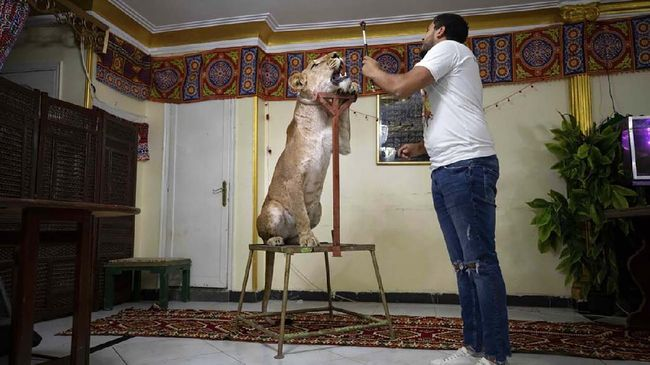 In this April 28, 2020 photo, 26-year-old lion tamer Ashraf el-Helw leads a partial show, part of a coronavirus stay home and stay safe campaign to encourage people to stay home, with his 5-year-old female African lion 'Joumana,' inside his family apartment, in Cairo, Egypt. With Egypt's national circus closed due to the pandemic, lion trainer Ashraf el-Helw has his big cats performing tricks at his Cairo apartment and posts performance videos on social media. (AP Photo/Nariman El-Mofty)