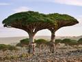 'Pulau Alien' Habitat Pohon Darah Naga di Yaman