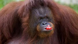 FOTO: Hewan di Kebun Binatang Medan Terpaksa Diet