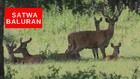 VIDEO: Sebulan Ditutup, Savana TN Baluran Dipenuhi Satwa