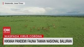 VIDEO: Hikmah Pandemi Fauna Taman Nasional Baluran