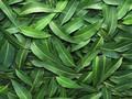 Respons Ahli soal Studi Eucalyptus Jadi Obat Antivirus Corona