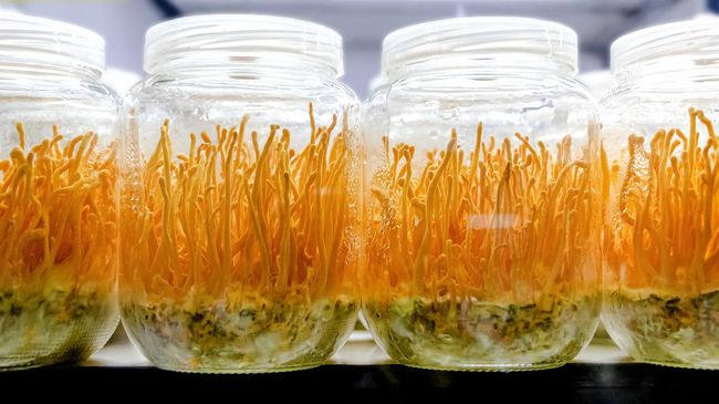 Cordyceps militaris mushroom in a glass bottles. (Scientific name:Ophiocordyceps sinensis) Cordyceps militaris will grow within a glass bottle. Asians are used as a body tonic.