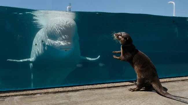 A small-clawed otter (R) faces a beluga whale in an aquarium at Hakkeijima Sea Paradise, which is closed amid the COVID-19 coronavirus pandemic, in Yokohama on May 8, 2020 as part of a theme park's project to deliver the state of animals through official website and SNS. (Photo by Kazuhiro NOGI / AFP)