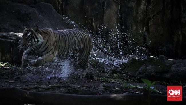 Dua harimau sumatera bermain saat proses pengambilan gambar video untuk siaran langsung melalui media sosial di Taman Margasatwa Ragunan, Jakarta, Minggu (17/5/2020). Siaran langsung polah dua harimau bernama Hana dan Tino itu bertujuan untuk memberikan wawasan tentang satwa dan hiburan kepada masyarakat selama masa pandemi COVID-19. CNN Indonesia/Adhi Wicaksono