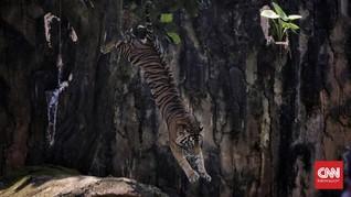 Kelahiran Langka Harimau Sumatra di Kebun Binatang Polandia