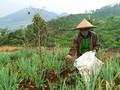 Daya Beli Petani Hortikultura Tergerus pada Juni 2020