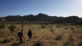 Two hikers walk along a trail at Joshua Tree National Park in California, Tuesday, May 19, 2020. The park reopened this week after a lengthy closure to help slow the spread of the new coronavirus. (AP Photo/Jae C. Hong)