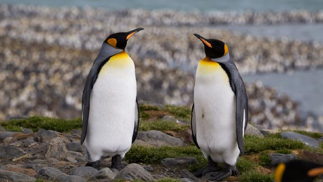 Sevearl king penguins have made their way onto a ridge behind a large penguin colony.
