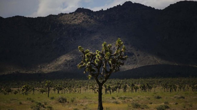 A Joshua tree stands along a road at Joshua Tree National Park in California, Tuesday, May 19, 2020. The park reopened this week after a lengthy closure to help slow the spread of the new coronavirus. (AP Photo/Jae C. Hong)