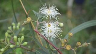 Balitbangtan Buka Suara soal Eucalyptus Jadi Antivirus Corona