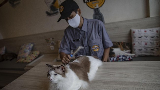 Karyawan melakukan perawatan terhadap kucing peliharaan Kopi Cat Cafe Kemang, Jakarta, Sabtu, 30 Mei 2020. Menanggapi rencana dicabutnya status PSBB pada 5 Juni mendatang, Kopi Cat Cafe menyiapkan sejumlah protokol kesehatan seperti membatasi jumlah pengunjung dan menyediakan hand sanitizer sebagai cara mencegah penyebaran virus Covid-19. CNN Indonesia/Bisma Septalisma