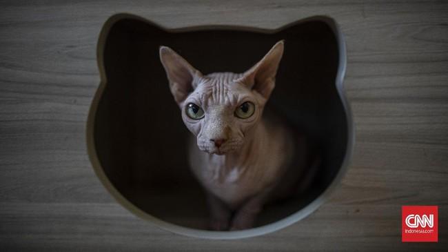 Suasana di Kopi Cat Cafe Kemang, Jakarta, Sabtu, 30 Mei 2020. Menanggapi rencana dicabutnya status PSBB pada 5 Juni mendatang, Kopi Cat Cafe menyiapkan sejumlah protokol kesehatan seperti membatasi jumlah pengunjung, mewajibkan menggunakan masker, menyediakan hand sanitizer, dan membersihkan kucing setiap satu jam sekali sebagai cara mencegah penyebaran virus Covid-19. CNN Indonesia/Bisma Septalisma