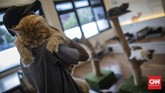 Karyawan melakukan perawatan terhadap kucing peliharaan Kopi Cat Cafe Kemang, Jakarta, Sabtu, 30 Mei 2020. Menanggapi rencana dicabutnya status PSBB pada 5 Juni mendatang, Kopi Cat Cafe menyiapkan sejumlah protokol kesehatan seperti membatasi jumlah pengunjung, mewajibkan menggunakan masker, menyediakan hand sanitizer, dan membersihkan kucing setiap satu jam sekali sebagai cara mencegah penyebaran virus Covid-19. CNN Indonesia/Bisma Septalisma