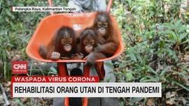 VIDEO: Rehabilitasi Orangutan di Tengah Pandemi
