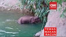 VIDEO: Gajah Betina Tewas Makan Nanas Berisi Petasan