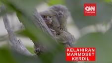 VIDEO: Marmoset Kerdil Baru Lahir di Tengah Pandemi