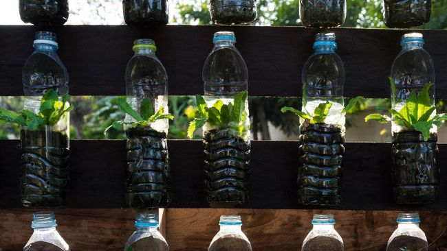 Growing vegetables (parsley or culantro) in used plastic bottles, Hydroponic garden and reuse recycle eco concept