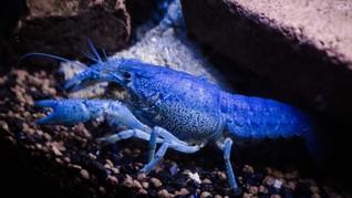 Fakta Lobster Biru Langka yang Bernilai Jutaan Rupiah