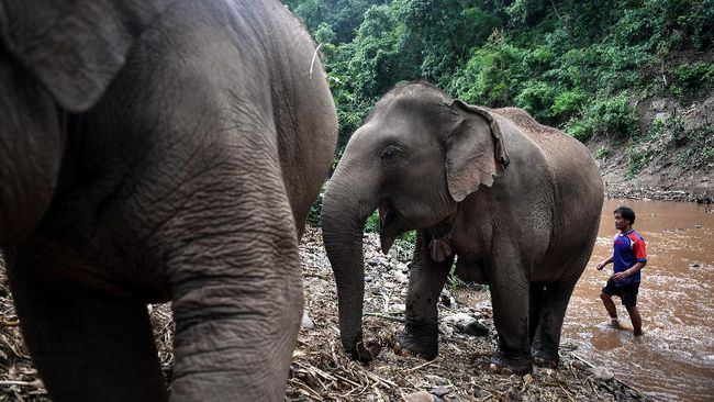 This photo taken on June 4, 2020 shows a mahout looking after a mother and young elephant in Baan Na Klang village in the northern Thai province of Chiang Mai, where over 100 elephants returned from various tourist camps since the outbreak of the COVID-19 coronavirus. - As the coronavirus pandemic paralysed global travel, Thailand's some 3,000 domesticated elephants working in amusement parks or