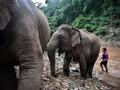 Ribuan Gajah Thailand Migrasi dalam Kelaparan & Perkelahian