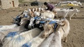 Changpa nomad Sonam Yangzom ties pashmina goats before milking them in a nomadic camp, about one kilometre from Korzok village in the Leh district of Ladakh. - The world is heading for a shortage of the highly prized and super-soft cashmere wool as pashmina goats that live on the