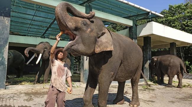 Mahout atau pawang gajah memberi makan gajah.