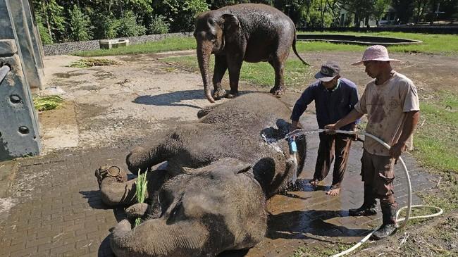 Mahout memandikan gajah di kandang mereka.