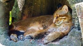 Fakta Kucing Emas Langka yang Kena Perangkap Babi di Sumbar