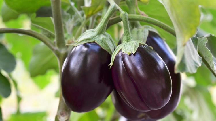 Ripe purple eggplants growing in the vegetable garden. Shallow depth of field, selective focus.