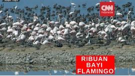 VIDEO: Ribuan Bayi Flamingo Sesaki Taman Suaka di Turki