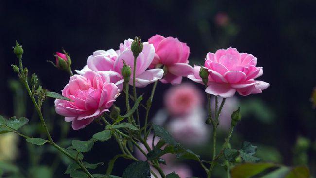 5 Tips Menanam Bunga Mawar Agar Tidak Cepat Mati