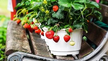 8 Langkah Mudah Menanam Stroberi Di Pot Atau Polybag