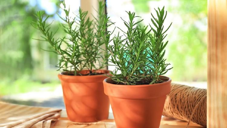 Tanaman Rosemary