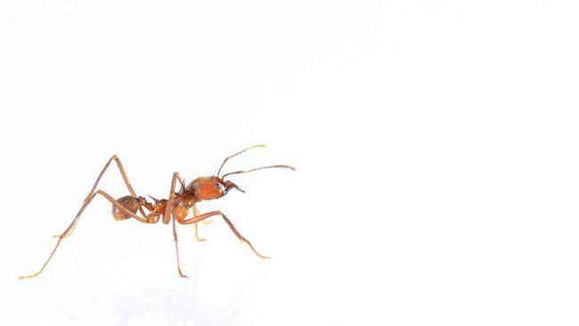 Ilustrasi semut api