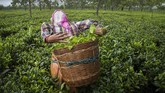 An Indian tea worker puts the plucked tea leaves in basket at a tea garden in Biswanath Chariali district of eastern state of Assam, India, Saturday, June 27, 2020. Assam produces more than 50 percent of India's tea crop. (AP Photo/Anupam Nath)