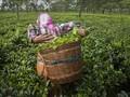 FOTO: Dilema Buruh Kebun Teh India di Tengah Pandemi