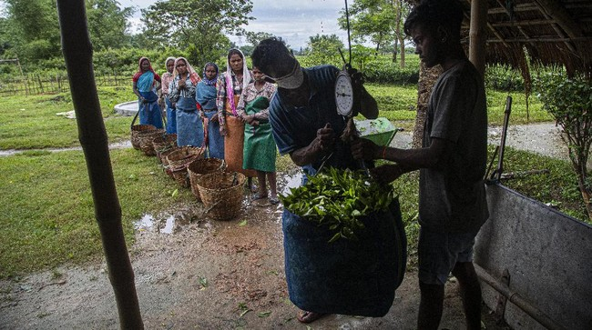 Tea leaves are weighed after being handed over by pluckers at a tea garden in Biswanath Chariali district of eastern state of Assam, India, Saturday, June 27, 2020. Assam produces more than 50 percent of India's tea crop. (AP Photo/Anupam Nath)