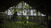 An Indian tea worker mixes freshly plucked tea leaves at a tea garden in Biswanath Chariali district of eastern state of Assam, India, Saturday, June 27, 2020. Assam produces more than 50 percent of India's tea crop. (AP Photo/Anupam Nath)