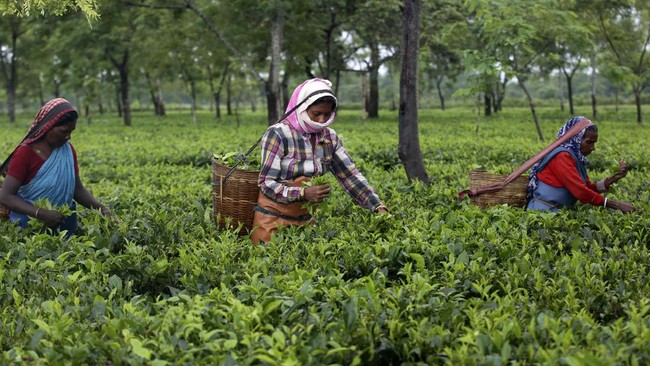 Indian workers pluck tea leaves at a tea garden in Biswanath Chariali district of eastern state of Assam, India, Saturday, June 27, 2020. Assam produces more than 50 percent of India's tea crop. (AP Photo/Anupam Nath)