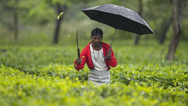 An Indian worker trims tea plants at a tea garden in Biswanath Chariali district of eastern state of Assam, India, Saturday, June 27, 2020. Assam produces more than 50 percent of India's tea crop. (AP Photo/Anupam Nath)