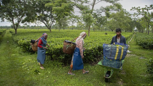 Elderly pluckers walk past a worker carrying plastic bags filled with tea leaves at a tea garden in Biswanath Chariali district of eastern state of Assam, India, Saturday, June 27, 2020. Assam produces more than 50 percent of India's tea crop. (AP Photo/Anupam Nath)