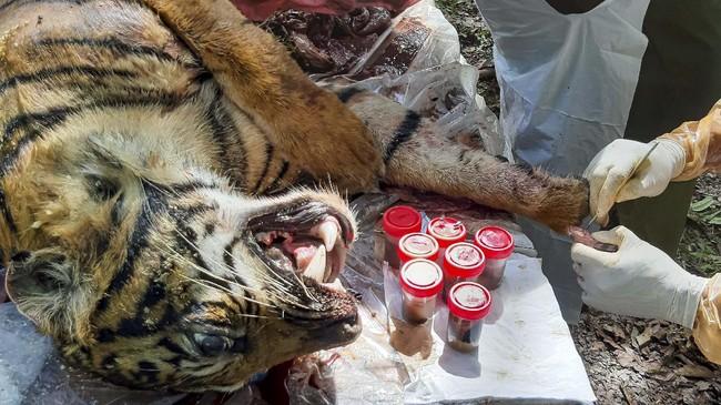 Petugas dari BKSDA Aceh melakukan nekropsi terhadap bangkai harimau Sumatera  (Panthera tigris sumatrae) yang ditemukan mati di kawasan perkebunan masyarakat di Kabupaten Aceh Selatan, Aceh, Selasa (30/6/2020). Proses tersebut dilakukan untuk mengetahui penyebab kematian harimau Sumatera yang diduga mati akibat diracun. ANTARA FOTO/Hafizdhah/Lmo/foc.