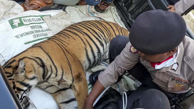 Polisi memeriksa bangkai harimau Sumatera (Panthera tigris sumatrae) yang ditemukan mati di kawasan perkebunan masyarakat di Kecamatan Trumon, Kabupaten Aceh Selatan, Aceh, Senin (29/6/2020). Harimau Sumatera tersebut diduga mati akibat diracun. ANTARA FOTO/Hafizdhah/Lmo/pras.