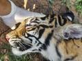 FOTO: Harimau Sumatera Mati Diduga Diracun