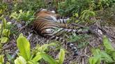 Kondisi bangkai harimau Sumatera (Panthera tigris sumatrae) yang  ditemukan mati di kawasan perkebunan masyarakat di Kecamatan Trumon, Kabupaten Aceh Selatan, Aceh, Senin (29/6/2020). Harimau Sumatera tersebut diduga mati akibat diracun. ANTARA FOTO/Hafizdhah/Lmo/pras.